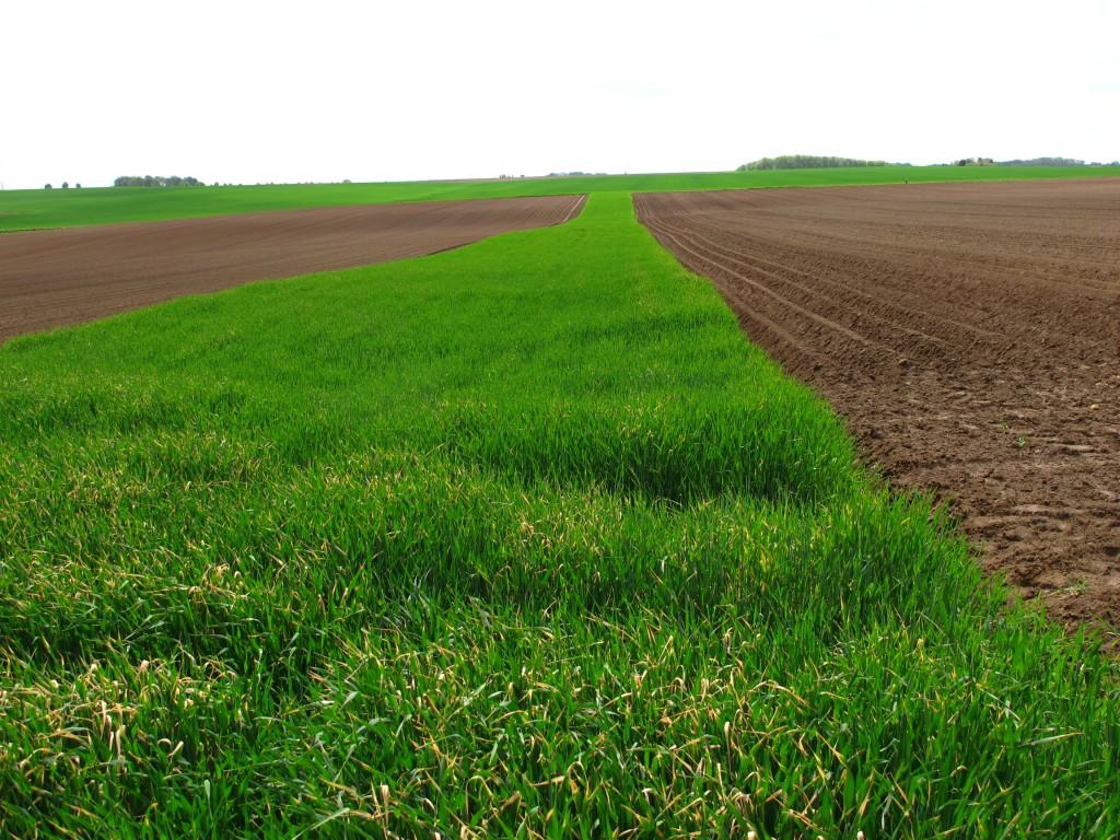 En l'absence de bétail à la ferme, des bandes de céréales d'hiver (photo ci-contre) peuvent être utilisées en lieu et place de bandes enherbées pour réduire la longueur de pente sur une parcelle sensible destinée à recevoir une culture de printemps